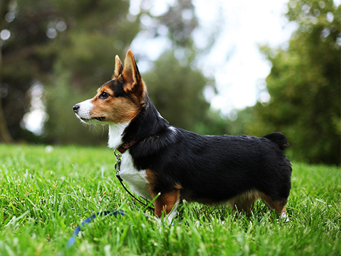 A pembroke welsh corgi puppy stands alert on grass outdoors.